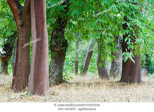 Mixed forest of chestnut and cork trees. Natural Park of Aracena and Picos de Aroche. Huelva. Spain