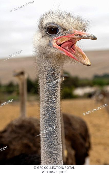 Shouting African Ostrich Struthio camelus with opened beck, South Africa