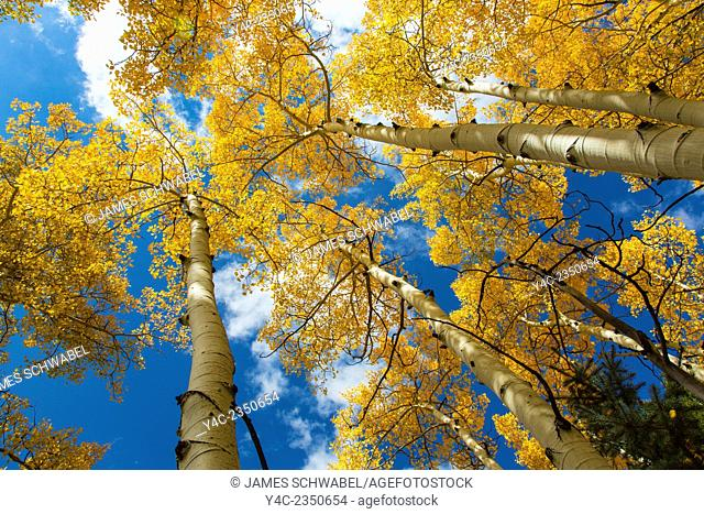 Looking up into tops of bright yellow fall Aspen trees in Colorado