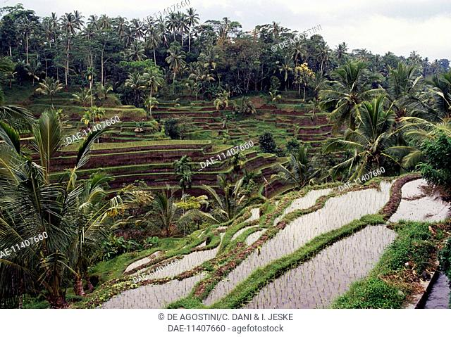Rice terraces, Tegalang, Cultural Landscape of Bali Province (UNESCO World Heritage List, 2012), Indonesia