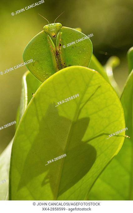 Hooded mantis (Choeradodis spp.), Costa Rica, Tropical rainforest