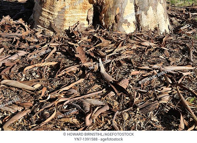 At the foot of a gum tree the ground is covered with the debris of fallen twigs and shed bark in a brown texturous pattern