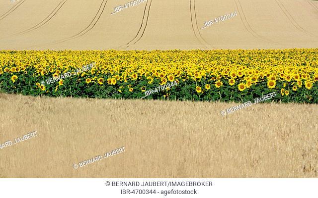 Sunflowers (Helianthus annuus) between corn fields, Limagne plain, Puy de Dome department, Auvergne-Rhône-Alpes, France