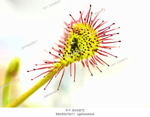 long-leaved sundew, oblong-leaved sundew, spoon-leaved sundew (Drosera intermedia), leaf with caught prey, Germany