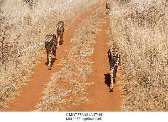 Cheetahs, Acinonyx jubatus, Cheetah Conservation Fund, Namibia