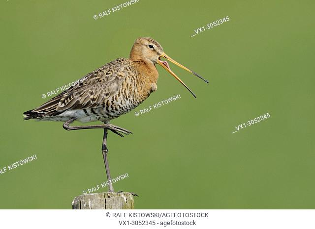 Black-tailed Godwit ( Limosa limosa), adult, typical wader bird, perched on a fence post, with open beak, calling, wildlife, Europe
