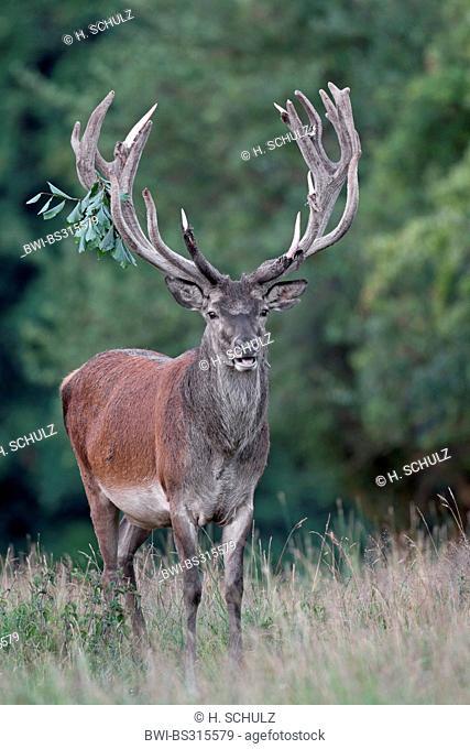 red deer (Cervus elaphus), stag with velvet antler standing in a meadow at a forest edge, Denmark, Jylland