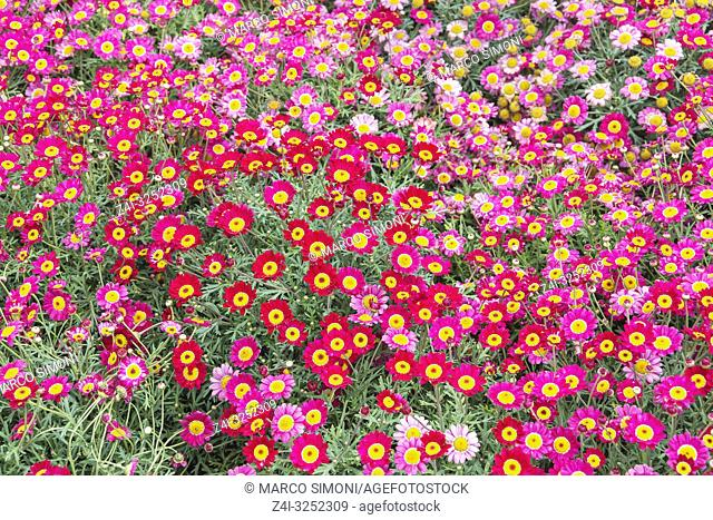 Meteor Red Daisies and Pink Daisies field, Liguria, Italy, Europe