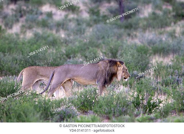 African lion (Panthera leo) - Male and female, in the gravel road, Kgalagadi Transfrontier Park, Kalahari desert, South Africa/Botswana