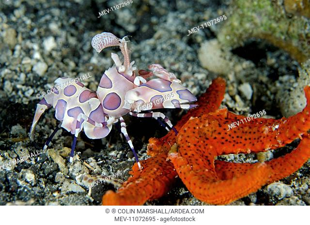 Harlequin Shrimp feeding on Luzon Sea Star (Echinaster luzonicus) Serena Besar dive site, Lembeh Straits, Sulawesi, Indonesia. Harlequin Shrimp