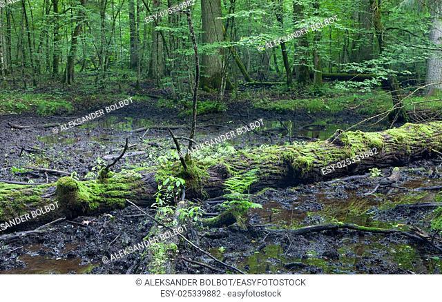 Broken oak tree in mud, Bialowiea Forest, Poland, Europe