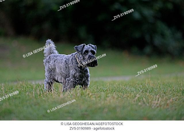 Schnauzer-Canis lupus familiaris