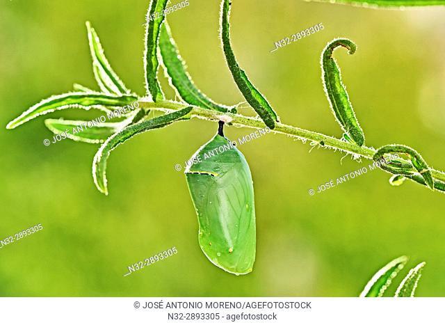 Monarch butterfly (Danaus plexippus), Chrysallis, Benalmadena, Malaga province, Andalusia, Spain