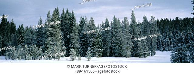 Conifer forest dusted with snow. Yosemite NP. California. USA