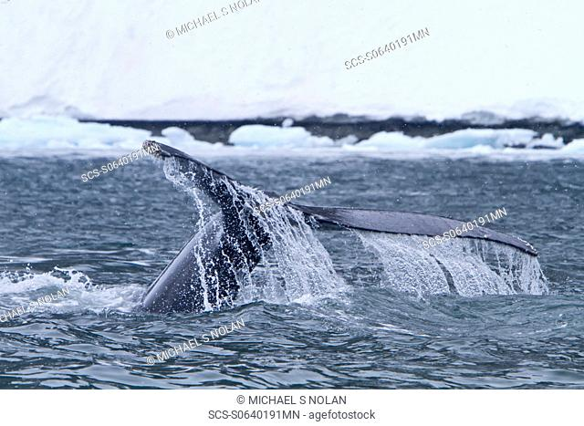 Humpback whale Megaptera novaeangliae fluke-up dive near the Antarctic Peninsula, Antarctica, Southern Ocean MORE INFO Humpbacks feed only in summer