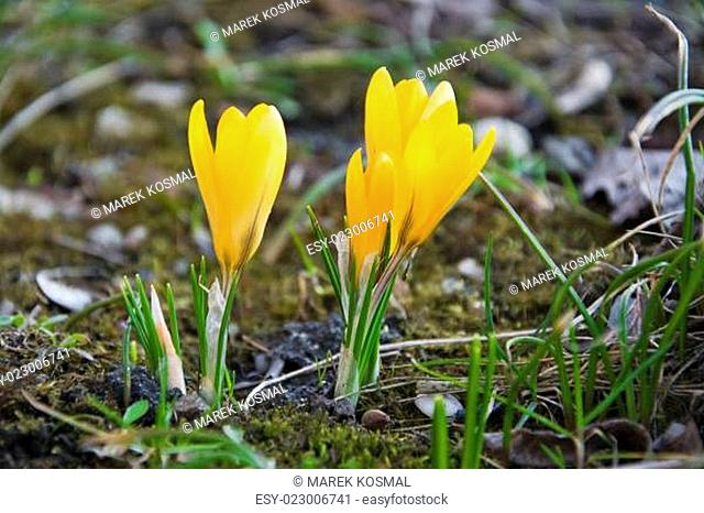 Yellow crocuses on spring meadow clse up
