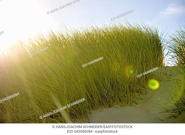 European marram grass in back light with blue sky in Poland