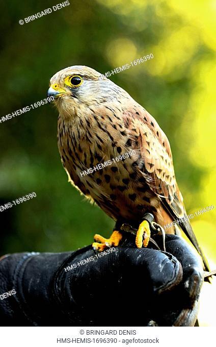 France, eastern France, Franche Comte, in a falconer scarer, Kestrel (Falco tinnunculus) tiercele