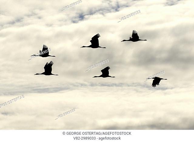 Sandhill crane silhouette in flight, Bosque del Apache National Wildlife Refuge, New Mexico
