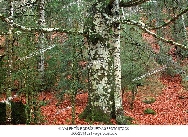 Beech in the valley of Ordesa. Ordesa National park. Huesca