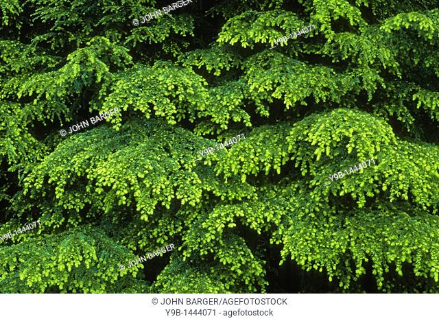 Western Hemlock Tsuga heterophylla with layered boughs in spring, Soleduck Valley, Olympic National Park, Washington, USA