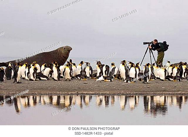 Photographer taking picture of a Southern Elephant seal Mirounga leonina with King penguins Aptenodytes patagonicus, St. Andrews Bay, South Georgia Island