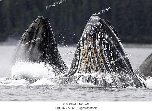Humpback Whales Megaptera novaeangliae cooperative bubble-net feeding in Iyoukeen Bay, southeast Alaska, USA