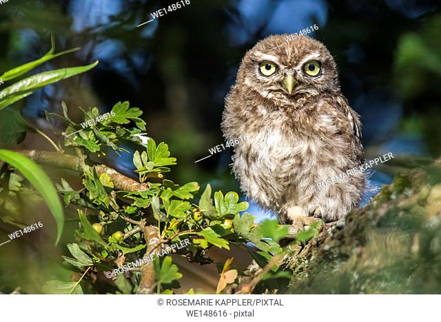 Germany, saarland, homburg - A little owl is sitting on a branch