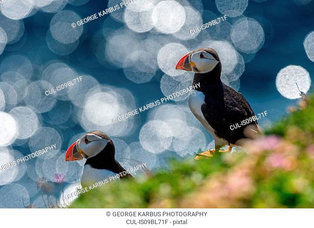 Two puffins (Fratercula arctica), Skellig Islands, Portmagee, Kerry, Ireland