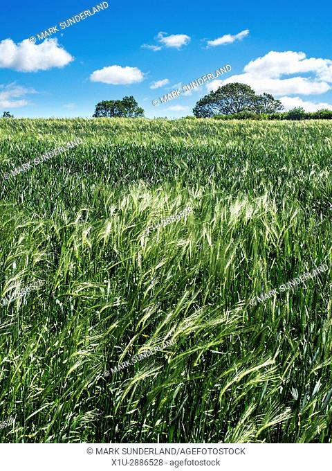Field of Unripe Barley Blowing in the Wind Markington near Ripon North Yorkshire England
