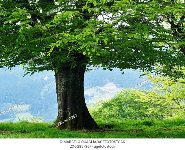 Beech tree (Fagus sylvatica). Anboto mountain. Urkiola Natural Park. Bizkaia province. Euskadi. Spain