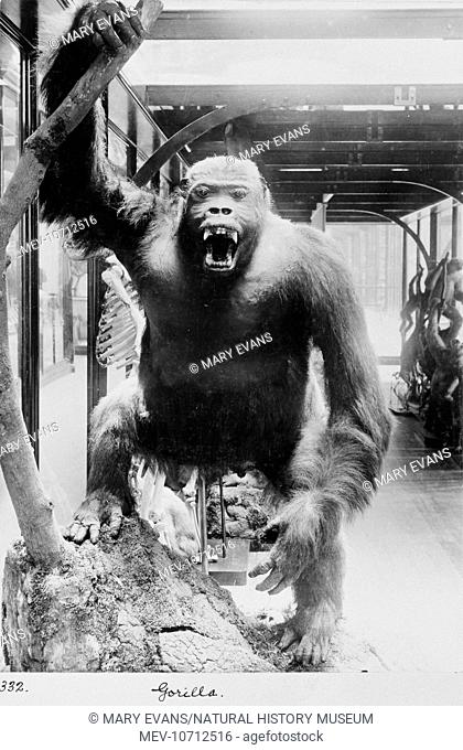 The gorilla shown in an aggressive posture became a popular museum highlight. Epitomised in the 1933 film, King Kong, sensationalist reports by early explorers...