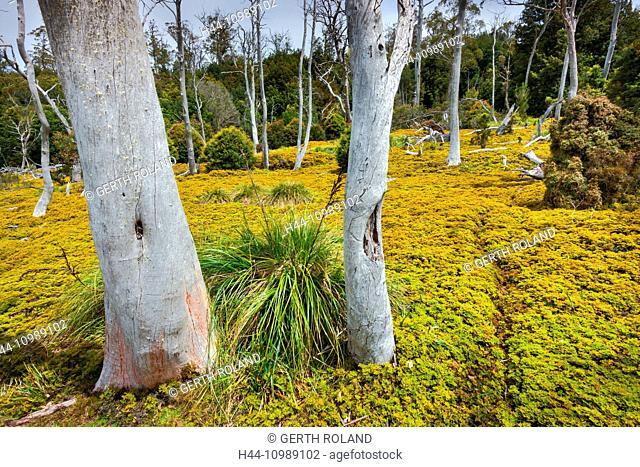 moss in Cradle Valley, Tasmania, Australia