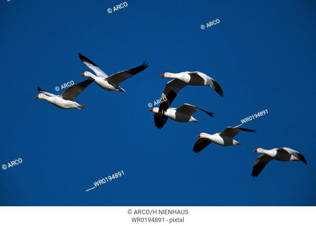 Snow, Geese, Bosque, del, Apache, New, Mexico, USA, Anser, caerulescens