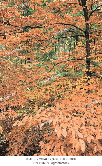 American Beech. Citico Creek. Cherokee National Forest. Tennessee. USA