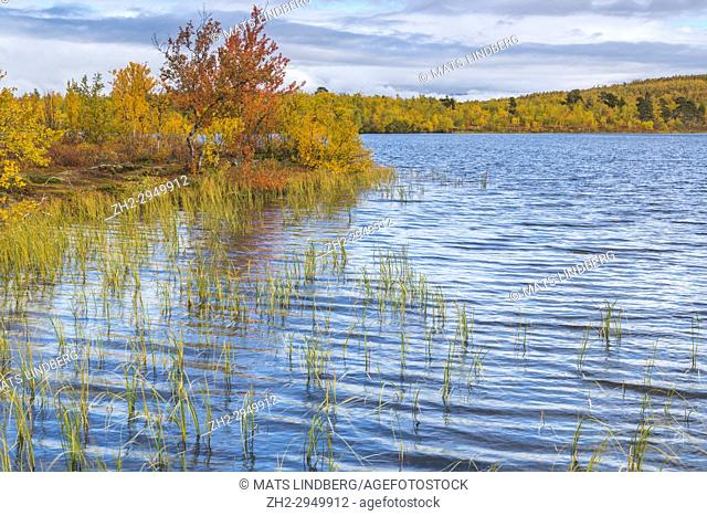 Lake in autumn season with colorful birch trees in yellow and orange surrounding it, Abisko, Kiruna county, Swedish Lapland, Sweden