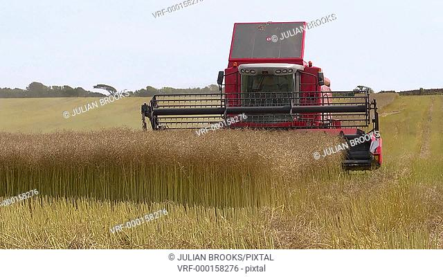 Red combine harvester finishing a row of rape seed