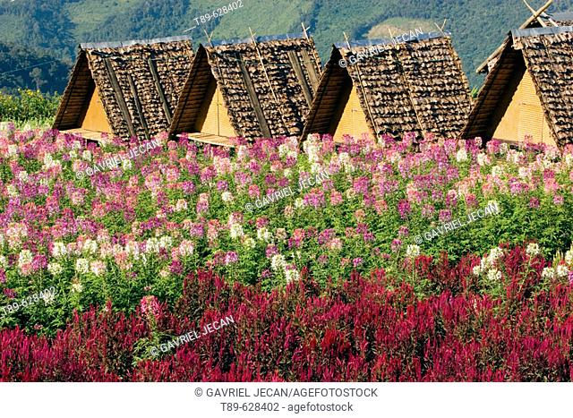 Small accomodation huts and fieald of flowers up in the mountains in the Mae Hong Son region