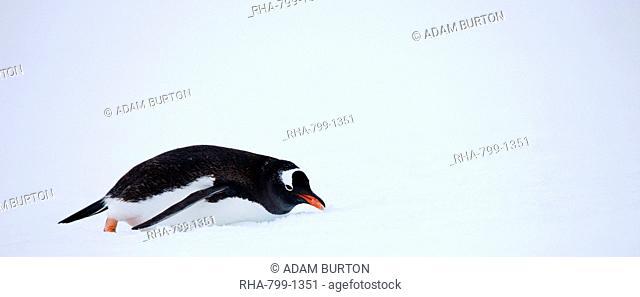 Gentoo penguin sliding in the snow, Petermann Island, Antarctic Peninsula, Antarctica, Polar Regions