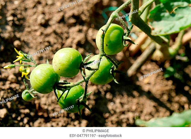Green tomatoes in the garden, agriculture concept