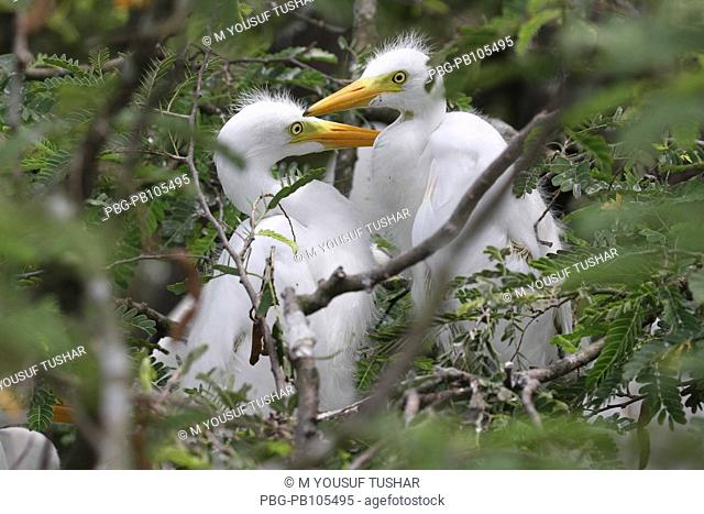 Chicks of the Cattle Egret Bubulcus ibis locally known as 'go bok' is a small white heron found near water-bodies, cultivated fields