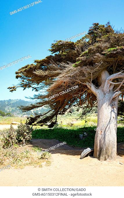 Cypress tree and tire in the ground at Mori Point, part of the Golden Gate National Recreation area, in Pacifica, California, June 20, 2017