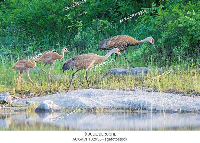Sandhilll Crane Family, Ontario, Canada