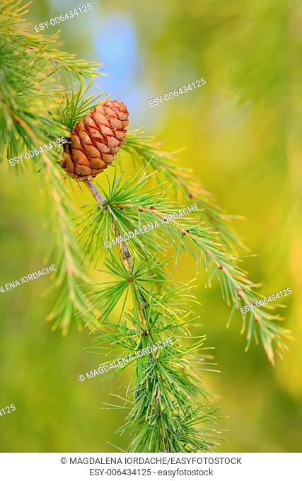 Close up cone on pine in forest