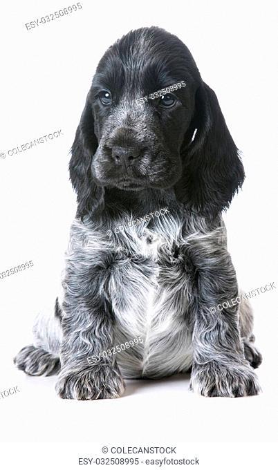 cute puppy - english cocker spaniel sitting on white background - 7 week old female