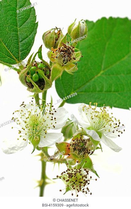 Flower of shrubby blackberry