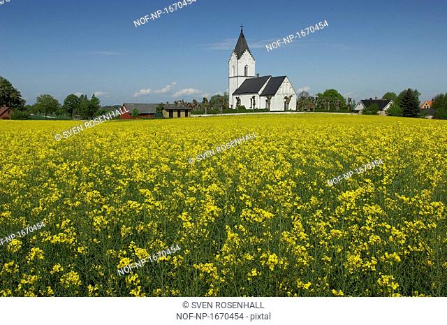 Mustard field with a church in the background, Skane, Sweden