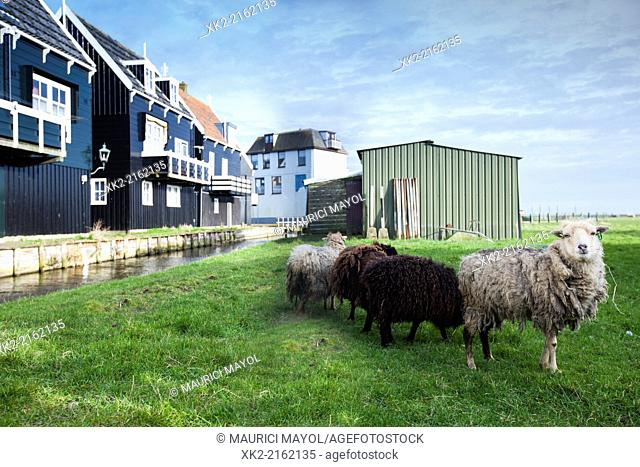 Sheep looking at the camera in Marken, Nederland