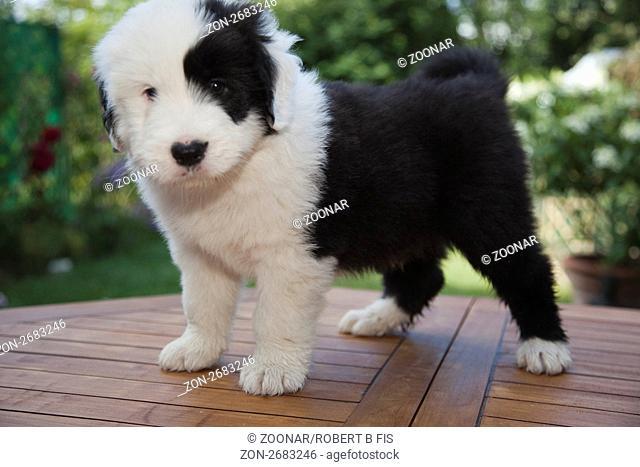 6 Wochen alte Bobtail- Australian Shepherd Mischlingswelpen / 6 weeks old puppy dogs Bobtail and Australian Shepherd crossbreed, 7.7