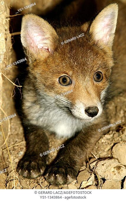RED FOX vulpes vulpes, PUP AT DEN ENTRANCE, NORAMNDY IN FRANCE